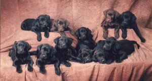 Shelby_litter.68122510_large